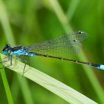 Auch an sehr kleinen Gewässern fühlen sich die Kleinlibellen zu Hause. Hier Männchen der Großen Pechlibelle (Ischnura elegans), das auf einem Halm Zwischenstopp gemacht hat.