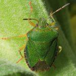 Die Grüne Stinkwanze (Palomena prasina) muss verschiedene Nymphenstadien durchlaufen, bevor sie vollständig ausgefärbt auch im Garten beobachtet werden kann. In Abhängigkeit von der Temperatur verändert sich im Herbst die Färbung. Überwinternde Tiere sind bräunlich gefärbt.
