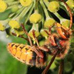 Auch sehr viele Hornissen suchen im Herbst den Efeu auf. Es ist schon ein bewegendes Erlebnis, den großen Insekten aus allernächster Nähe zuzuschauen, wie sie unermüdlich jede einzelne sich entwickelnde Frucht kurz nach der Blüte abschlecken.