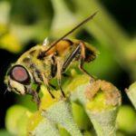 Efeu bietet im Herbst vielen Insekten eine besondere Attraktion, denn für den Nektar der Blüten entwickeln sie eine besondere Leidenschaft. Die unterschiedlichsten Insekten lecken den immer noch austretenden Nektar auch schon abgeblühter Blüten unermüdlich. Hier labt sich eine Schwebfliege.